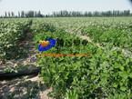 PE irrigation pipe