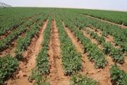 Field planting for potato seeds