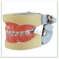 24teeth Pediatrics Jaw Model
