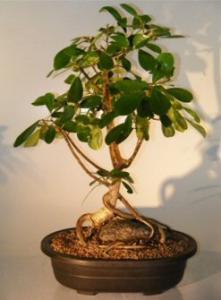 China ficus microcarpa mini bonsai trees (Nursery) on sale