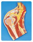 Shoulder Joint section medical anatomy models 23 position displayed education model