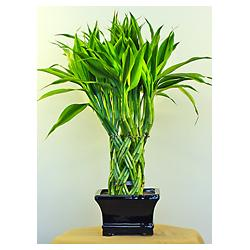 indoor green ornamental plants braided lucky bamboo plant coloeuful. Black Bedroom Furniture Sets. Home Design Ideas