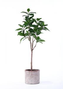 China Traditionally Potted Ficus Tree Subtle Tropical Feel Inspired By Nature on sale