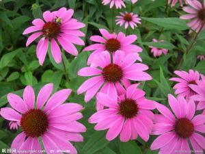 China Echinacea Purpurea Herb Extract 4% Phenolic Compounds (daisy@nutra-max.com) on sale
