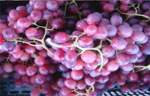 China Fresh Fruit 24 - 26mm Red Globe Grapes Fresh Juicy With High Sugars , Pyridoxine on sale