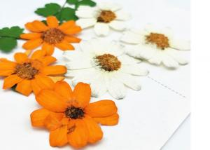 China Zinnia Natural Dried Flowers , Dried Daisy Flowers Fit Handmade Floral Raw Material supplier