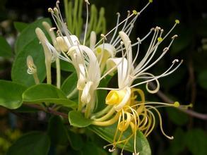 China Honeysuckle Flower Extract on sale