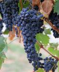 Extrato da semente da uva