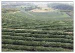 China Fatty Acid Camellia Oleifera Oil , Camellia Oil For Hair Growth Anti - Oxidation wholesale