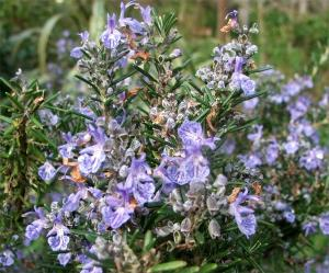 China Rosemary Herb extract factory on sale