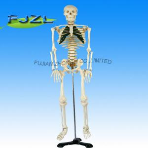 China hot sale artificial human skeleton, medical life size human skeleton model on sale