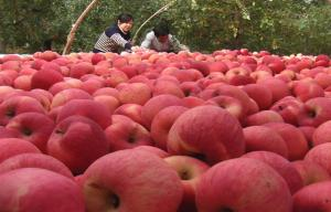 China Water Fresh Fuji Apple With Smooth Skin Contains Vitamin A , Resistant To Storage on sale