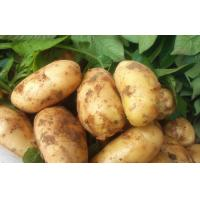 Good Taste Juicy Organic Potatoes Long Shelf Life , No Insect For Export