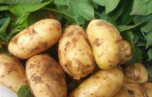 China Frozen Fresh Long Heavy Holland Potato Nutritional Value For Long Time Storage on sale
