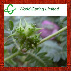 China Natural Herbal Viagra Tribulus Terrestris Extract herbal extract 40%-98% Tribulu HPLC on sale