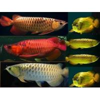 24K Gold Arowana fish and others for sale