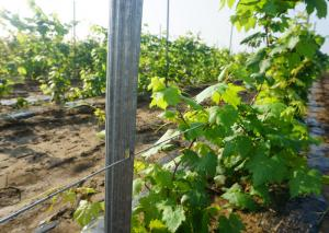 China Strongest Design Vineyard Trellis Posts Anti Moisture Easy Installation on sale