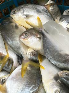 China 600-800g Frozen Golden Pompano Pomfret Fish Products Supplied with Competitive Price. on sale