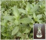 Aceite del arvensis del Mentha