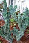 小型城の Cereus のサボテンの植物