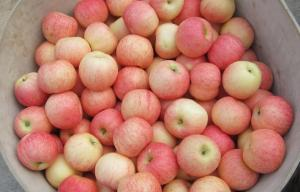 China Clean Smooth Fresh Fuji Apple No Spots Contains Vitamin E , Protein, Early results saplings, High fruit setting rate on sale