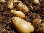 黄色い肉人間の健康の農場の新しいオランダのポテトのための繊維の豊富な栄養物無し