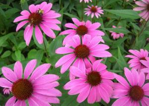 China Chinese Echinacea Herb Extract with 4% Polyphenols for Food Additives on sale