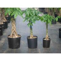 China Pachira Macrocarpa(Money tree) on sale