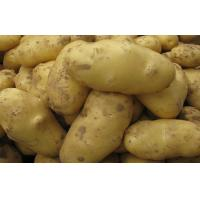 White Skin Shandong Holland Potato Rich Nutritions For Storing