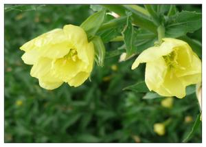 China Evening Primrose Natural Plant Extract Oil Gamma Linolenic Acid 9% CAS 506 26 3 supplier