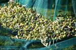100% virgin HDPE green70-150 gsm  falling olive harvest netting