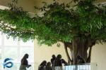 Odorless Decorative Artificial Ficus Tree 2.5 Meter Width Green Color