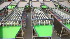 China mini dates sorting machine, lemon grading machine, onion potato sorting machine on sale
