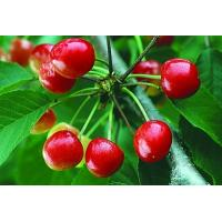 China Pure Natural Cherry Extract/Pure Natural Acerola Cherry Extract on sale