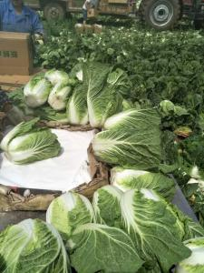 China Agricultural Clean Fresh Chinese Cabbage Very Low In Calories 1kg / Per on sale