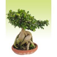 Ginseng FicusMiniature Ficus