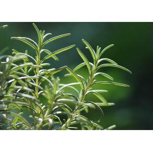 China Natural and pure Rosemary Essential Oil from Rosmarinus officinalis L on sale