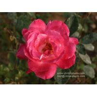 wholesale rose bare root