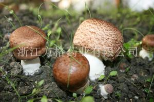 China Agaricus blazei extract 20%-40%,edible and medicinal mushroom,GMP/HACCPcertificate on sale