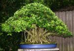 ficus microcarpa bonsai nursery (Ficus ginseng)
