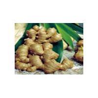 Ginger Root P.E. (Shirley at virginforestplant dot com)