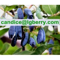 3%-40%OPC Powder Sweetberry Honeysuckle