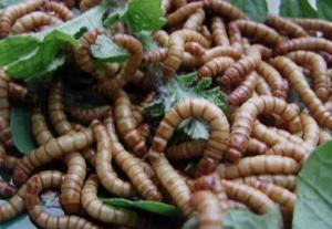 China Live  Mealworms for pets food on sale