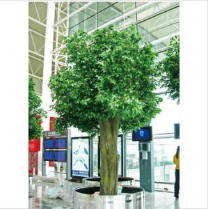 China Ficus Silk Tree on sale