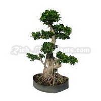 Bonsai Plant Ficus Retusa Microcarpa