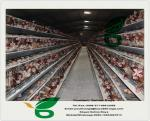 China Chicken cages and battery cages for layers and broilers wholesale