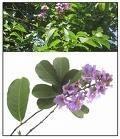China Banaba leaf extract, Corosolic acid 1%~98% By HPLC on sale