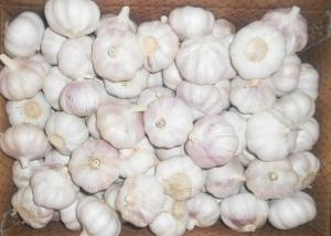 China Fresh Spicy Normal White Reducing Bacteria Garlic on sale