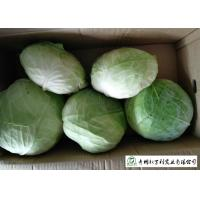 China Cold Tolerant Common Cabbage Vegetable Low Calories Easy Store Fit Wholesaler on sale