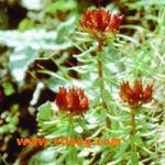 Rhodiola Rosea P.E.